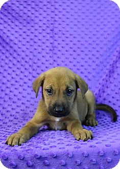 Retriever (Unknown Type) Mix Puppy for adoption in Westminster, Colorado - Gravity