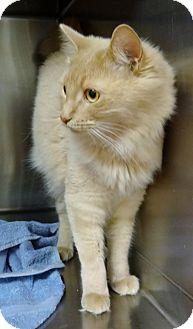 Domestic Mediumhair Cat for adoption in Marietta, Georgia - BRY (R)