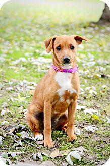 Miniature Pinscher/Terrier (Unknown Type, Small) Mix Puppy for adoption in Glastonbury, Connecticut - Angel