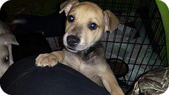 Pharaoh Hound/Shepherd (Unknown Type) Mix Puppy for adoption in Perris, California - Bandit