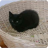 Adopt A Pet :: Black kitten - Etobicoke, ON
