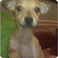 Adopt A Pet :: Earl Grey - Phoenix, AZ