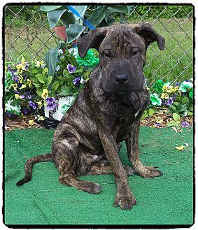 Shar Pei Mix Puppy for adoption in Marietta, Georgia - CLETUS