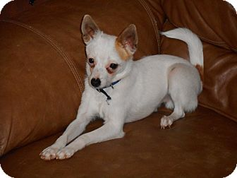 Chihuahua Mix Puppy for adoption in Meridian, Idaho - Amigo