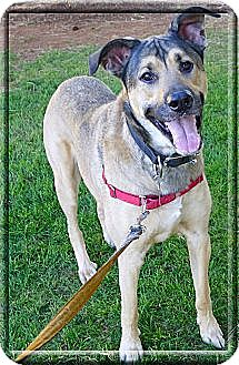 German Shepherd Dog/Great Dane Mix Dog for adoption in Sacramento, California - I'm a guys best buddy