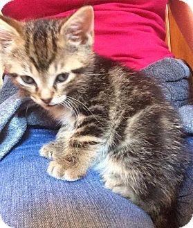 Domestic Shorthair Kitten for adoption in Crown Point, Indiana - Cheddar
