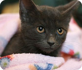 Russian Blue Kitten for adoption in Canoga Park, California - Anja