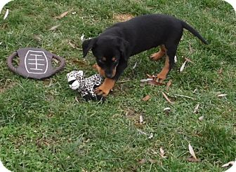 Chihuahua/Beagle Mix Puppy for adoption in Mooresville, Indiana - Codey (cheagle)