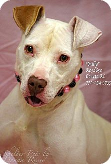 Pit Bull Terrier Mix Puppy for adoption in Newnan City, Georgia - Milly