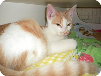 Domestic Shorthair Kitten for adoption in Hudson, Florida - RILEY