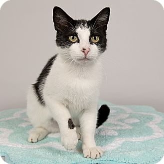 Domestic Shorthair Cat for adoption in Wilmington, Delaware - Lady Tux