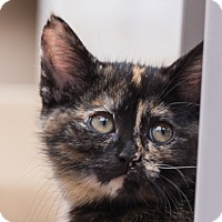 Adopt A Pet :: Sybil - Toronto, ON