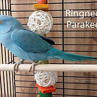 Adopt A Pet :: Blue Ringneck - Villa Park, IL
