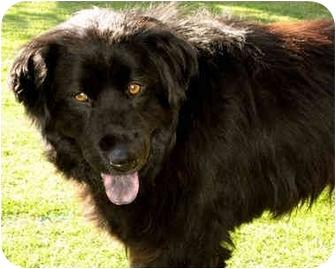 Newfoundland/Flat-Coated Retriever Mix Dog for adoption in Marina del Rey, California - Stanley