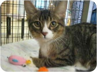 Domestic Shorthair Kitten for adoption in Deerfield Beach, Florida - Mark