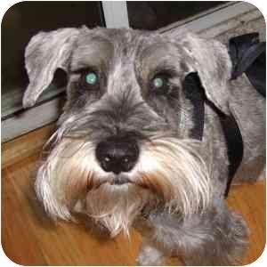 Schnauzer (Miniature) Dog for adoption in Redondo Beach, California - Alex