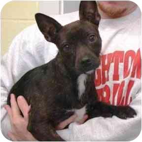 Boxer/Terrier (Unknown Type, Small) Mix Dog for adoption in Haughton, Louisiana - Foxy