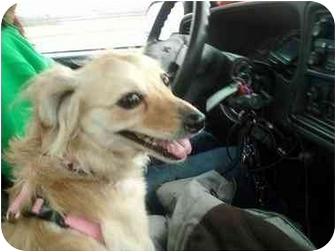 Dachshund/Pomeranian Mix Dog for adoption in Mount Kisco, New York - Brie