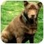 Photo 2 - Labrador Retriever/German Shepherd Dog Mix Dog for adoption in Pawling, New York - FENWAY