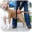 Photo 2 - American Pit Bull Terrier Dog for adoption in Berkeley, California - Remi