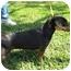 Photo 3 - Dachshund Dog for adoption in Sugar Land, Texas - Socks