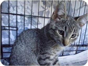 Domestic Shorthair Cat for adoption in Turlock, California - 0713-1109