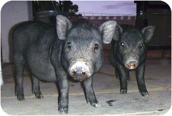 Pig (Potbellied) for adoption in Las Vegas, Nevada - Percy and Pip Squeak