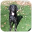 Photo 3 - Labrador Retriever/Labrador Retriever Mix Dog for adoption in Salem, Massachusetts - Maxwell