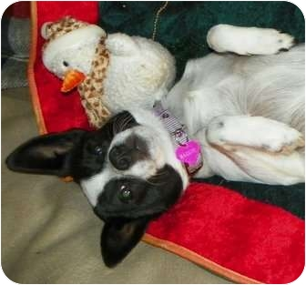 Rat Terrier Mix Dog for adoption in Greenville, Wisconsin - Maggie Moo