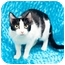 Photo 2 - Domestic Shorthair Cat for adoption in Houston, Texas - Domino
