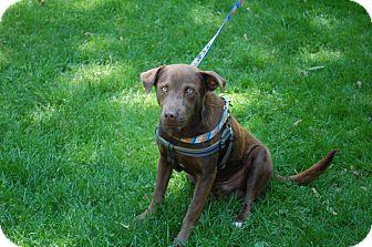 Labrador Retriever Mix Dog for adoption in Hainesville, Illinois - Buddy
