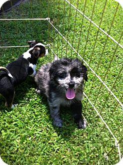 Australian Shepherd/Shih Tzu Mix Puppy for adoption in Baton Rouge, Louisiana - Angus