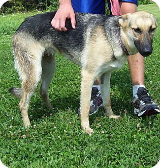 German Shepherd Dog Dog for adoption in Somerset, Pennsylvania - Sasha