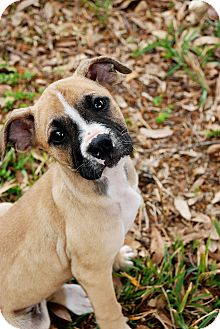 Boxer Mix Puppy for adoption in Orlando, Florida - Betty