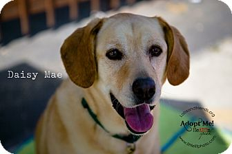 Labrador Retriever Dog for adoption in Burbank, California - Daisy Mae