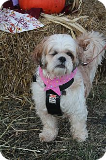 Shih Tzu Mix Dog for adoption in Hagerstown, Maryland - Opal