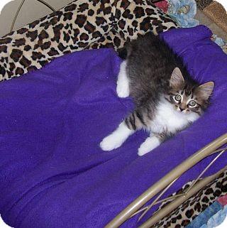 Domestic Mediumhair Kitten for adoption in Virginia Beach, Virginia - Adley