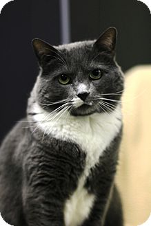 Domestic Shorthair Cat for adoption in Mission, British Columbia - Frost
