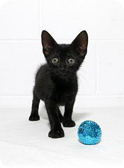 Domestic Shorthair Kitten for adoption in Lufkin, Texas - T Rex
