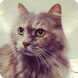 Persian Cat for adoption in Cheltenham, Pennsylvania - JOY