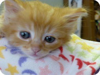 Domestic Mediumhair Kitten for adoption in Quincy, California - Drago