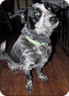 Blue Heeler/Terrier (Unknown Type, Medium) Mix Dog for adoption in Colville, Washington - Rosie