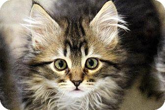 Maine Coon Kitten for adoption in HILLSBORO, Oregon - Froyo