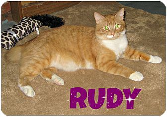 Domestic Shorthair Cat for adoption in Beverly, Massachusetts - RUDY