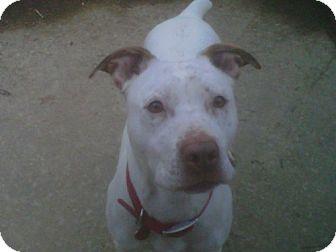 American Staffordshire Terrier/Boxer Mix Dog for adoption in Kimberton, Pennsylvania - Star