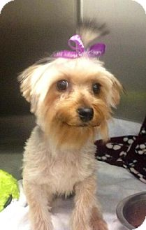 Yorkie, Yorkshire Terrier Mix Dog for adoption in Detroit Lakes, Minnesota - Sushi