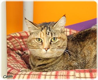 Domestic Shorthair Cat for adoption in Welland, Ontario - Carlin