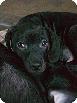 Beagle/Labrador Retriever Mix Puppy for adoption in Cincinnati, Ohio - Otis