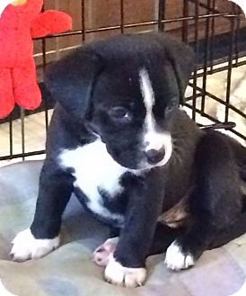 Beagle Mix Puppy for adoption in WESTMINSTER, Maryland - Bashful