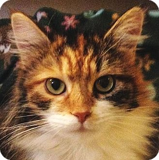 Calico Cat for adoption in Port Angeles, Washington - Delta